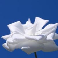 紺碧の空に咲く白い薔薇