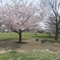 4月10日(月)あすから雨で、風も強くなる、花見のチャンス、最後かな。