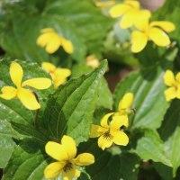 六甲山植物園の花 4月16日 その3 ハルリンドウ オキナグサ 黄スミレ