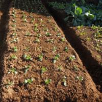ジャガイモ収穫後         コマツナなど移植
