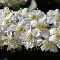 シウリザクラの花は白いブラシ