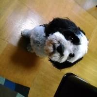 ぶさかわ犬のイブ君をシャンプー・カットし可愛くする。