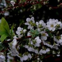 春雨 春菫咲き 雨に咲く花 雪柳