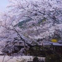 桜を待ちながら西行(詩を)読む