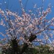 桜から教えてもらうこと