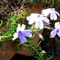 芝桜(しばざくら)の花