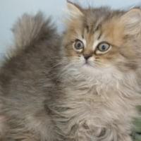 ペルシャ/各種子猫展示・販売中/ペット仙台/栗原市/登米市
