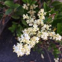 卯の花(空木ウツギ)