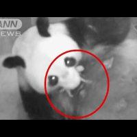 上野動物園 パンダ「シンシン」 出産 !!