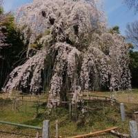 埼玉県 桶川市 普門寺 しだれ桜