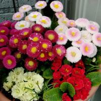 デージーの花に何か白いものが……