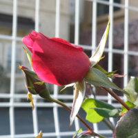 少し太めのキンカンの実と赤いバラの蕾