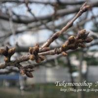 桜の蕾を間近に見ながら漬物の下準備☆