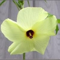 トロロアオイの花