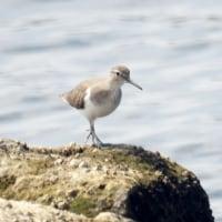 9/29探鳥記録写真(狩尾岬の鳥たち:イソシギ、キアシシギ、クロサギ他)
