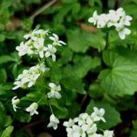 ユリワサビの白い花