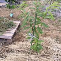 今日はポポーガーデンに新しい苗木を植えました。蟠桃、デビューです。