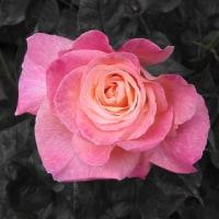 あわい薔薇プラス