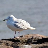 シロカモメ(白鷗)