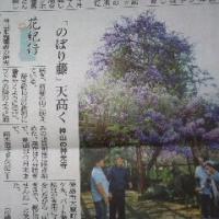 鬼籠野(おろの)の「のぼり藤」