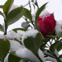 豊川細かな雪が降り続いてますよ~積るのかなあ、積ったら困るなあ今日から三連勤だもの、
