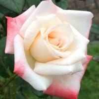 錦江湾公園のバラです
