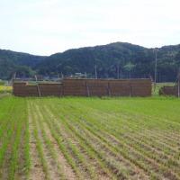 稲刈りの季節になりました。