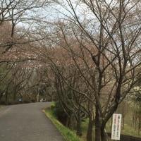 桜満開まであと数日