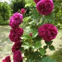 薔薇の香りに包まれて♡