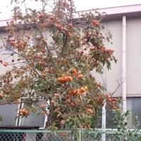柿の木に実が出しているのに