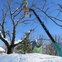 寒中、桜の剪定作業はじまる