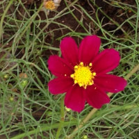 庭の  薔薇と    コスモス