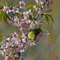 ヒマラヤ桜&メジロ