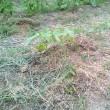 キュウリ定植後の様子