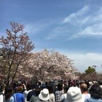 造幣局 桜の通り抜け 2017