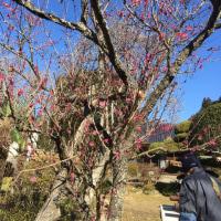 福寿草、梅がきれいです