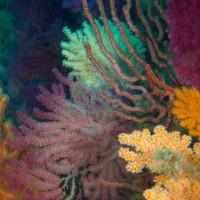 逗子のサンゴ ソフトコーラルが重なる海