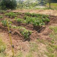 ジャガイモの土寄せをしました
