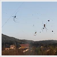 猫額は蜘蛛の巣じょう