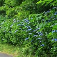 アジサイ咲く散歩道