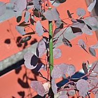 シックな色になったユーカリの葉