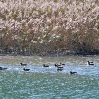 Vol.1995  大堂津の細田川に冬鳥達がたくさんやってきました。  (Photo No.13848)