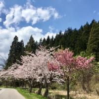 湯之谷の桜