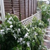 茅ヶ崎も雪