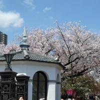 造幣局の桜 (11)