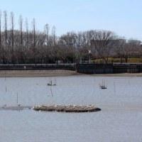 埼玉県川越市伊佐沼にある伊佐沼には、ユリカモメが飛来し、越冬しています
