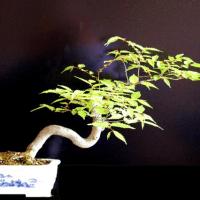 ケヤキ盆栽 三十代からの朋