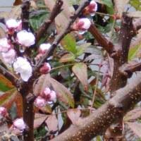 4月21日(金曜日)「杏の花」(ピエロ)