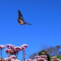 旅する蝶。