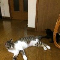 黒猫チビすばる〜しっぽ に じゃれる〜